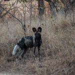 Riserva Mthethomusha - wild dog