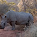 Riserva privata Mthethomusha- rinoceronte da vicino