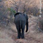 Riserva privata Mthethomusha- elefante da vicino all'alba