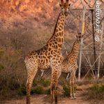 Riserva privata Mthethomusha- giraffe da vicino all'alba