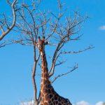 Riserva Mthethomusha - giraffa