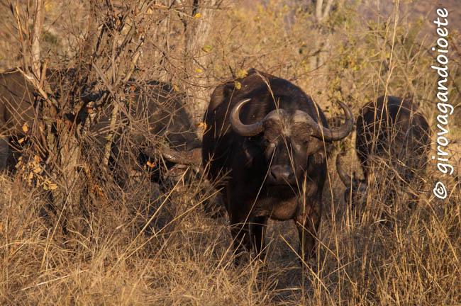 Riserva Mthethomusha- bufali