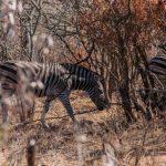 Riserva Mthethomusha - zebre