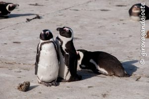 Itinerario Garden Route - Stony Point African Penguin Colon